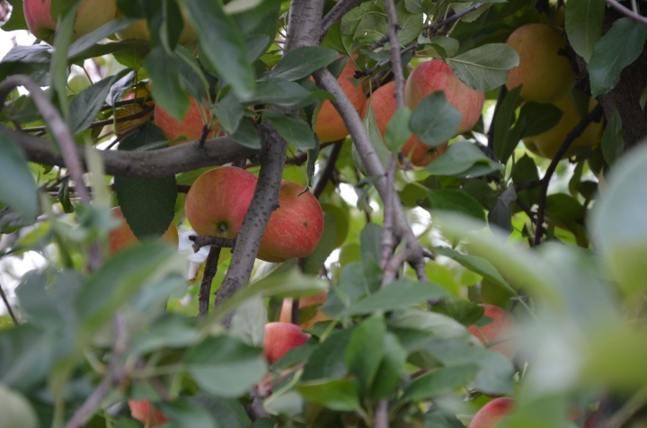 Apple Orchards – Chicagosuburbs!